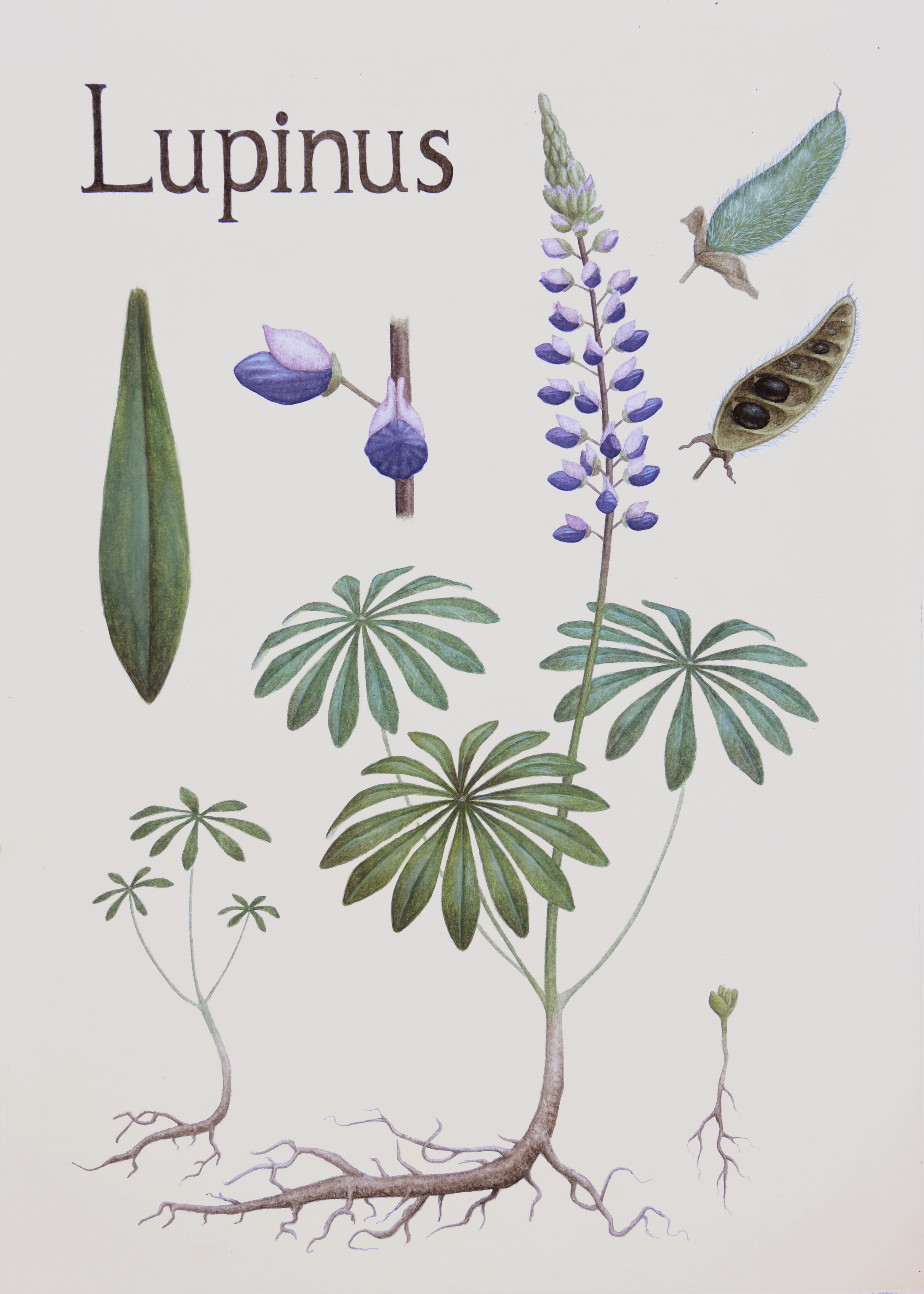 Lupine (Lupinus)