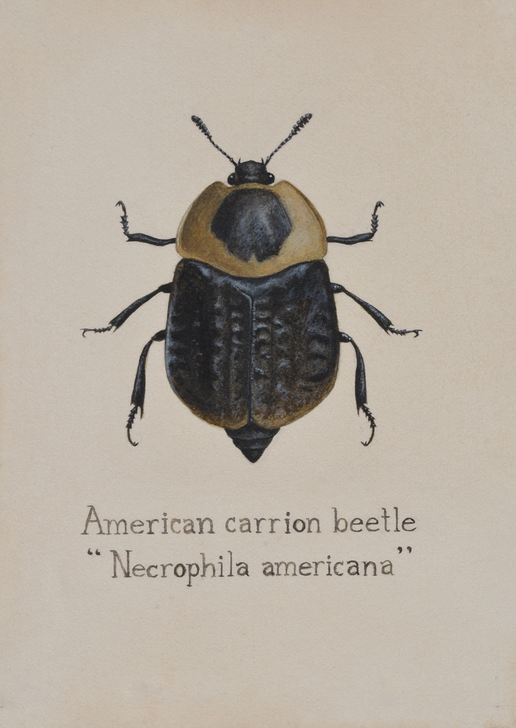 American Carrion Beetle (Necrophila Americana)