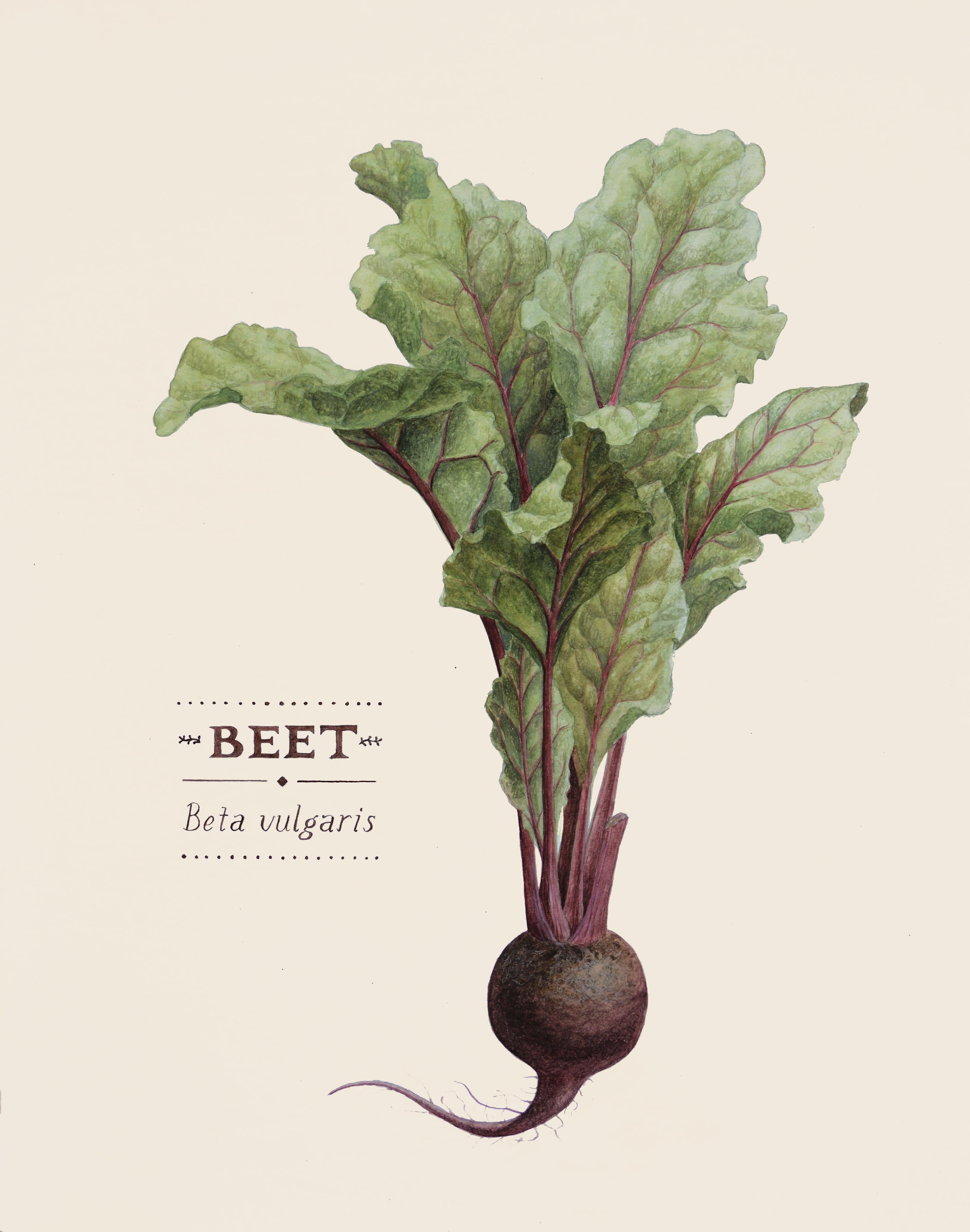 Beet (Beta Vulgaris)