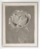 Antique Rose Study I