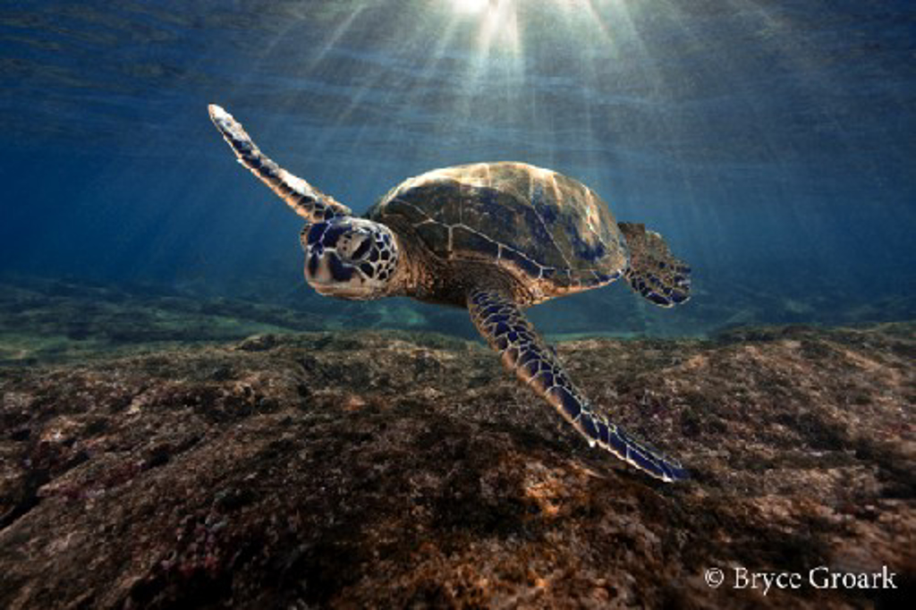 Honu Sunrise by Bryce Groark