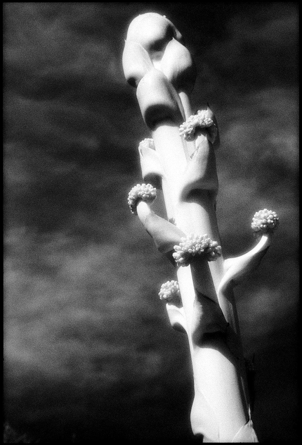 Agave Flower by Edward C. Alfano