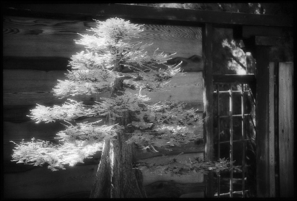 Bald Cypress by Edward C. Alfano