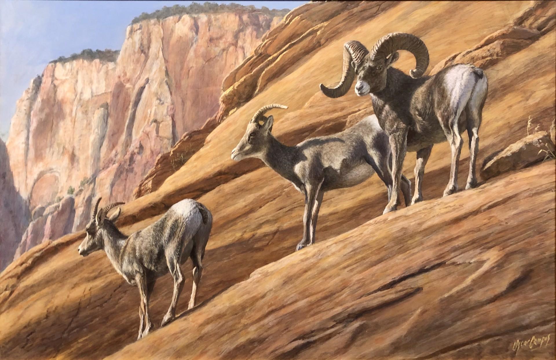 Desert Bighorns by Oscar Campos