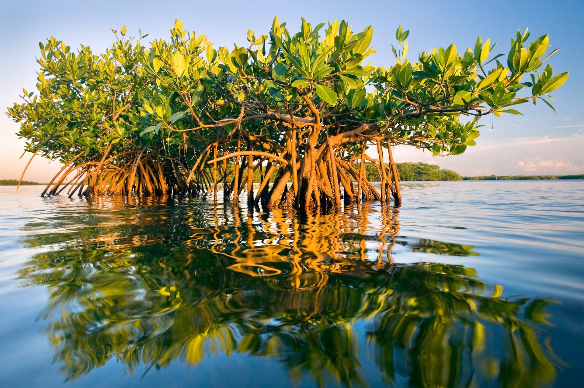 Tampa Bay Mangroves by Carlton Ward Jr