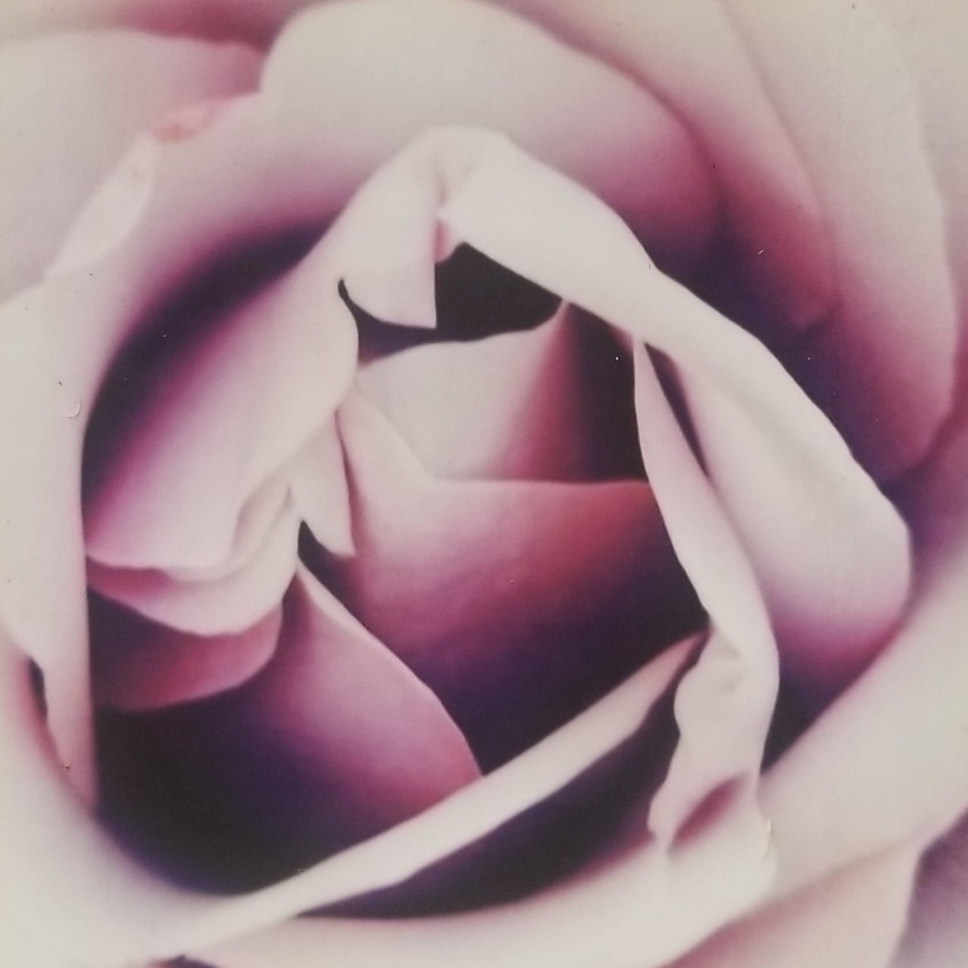 Pink Rose by Cecilia Fransson
