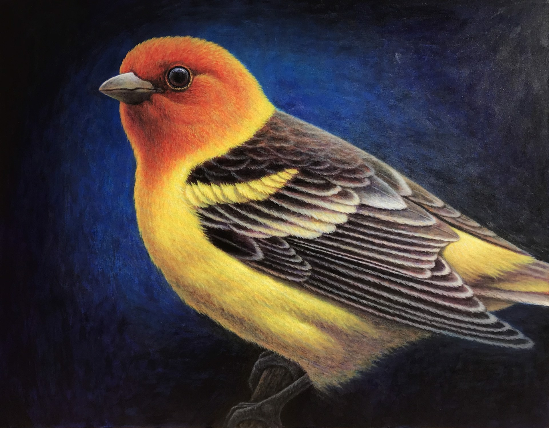 Western Tanager Looking East by Bo Newell