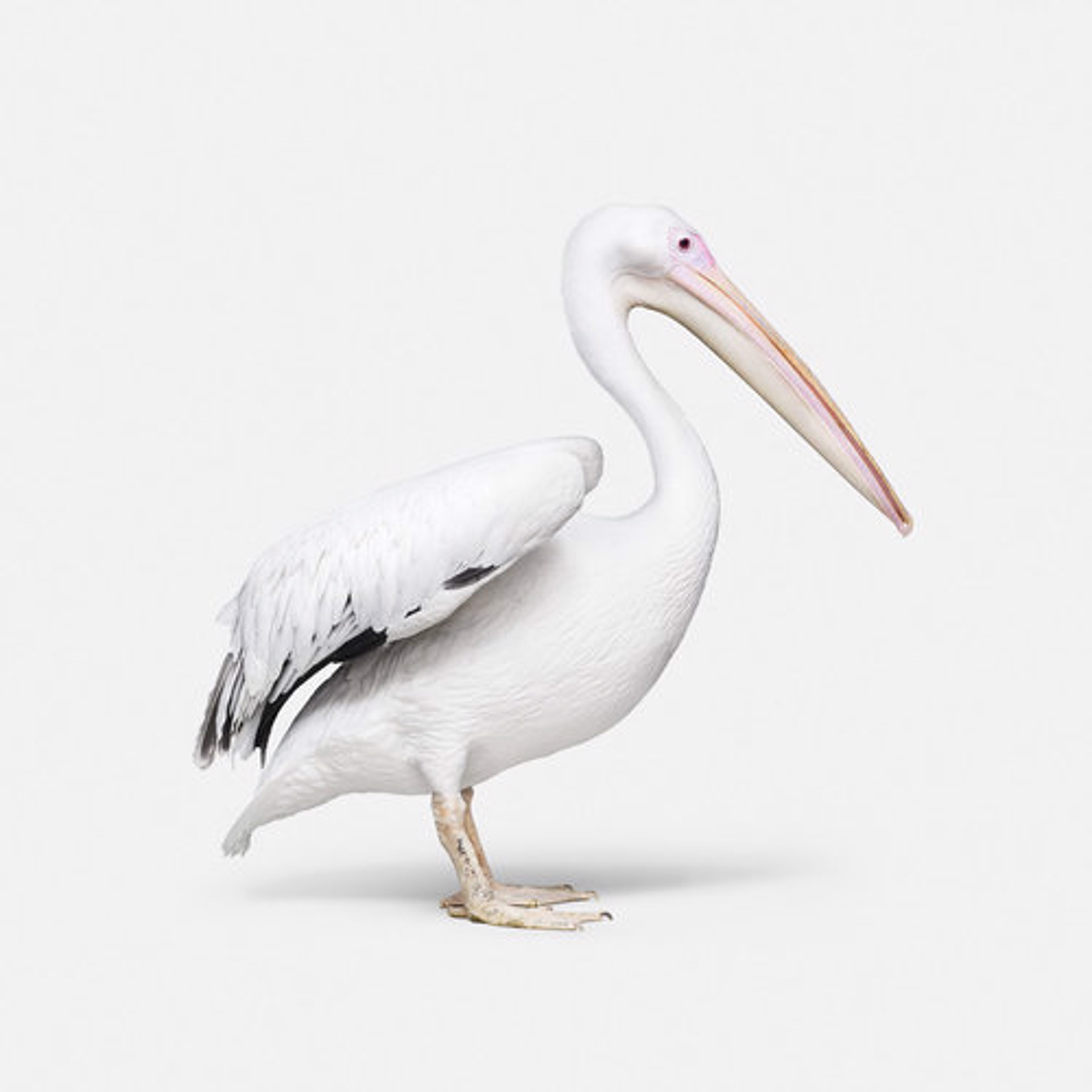 Great White Pelican No. 1 by Randal Ford