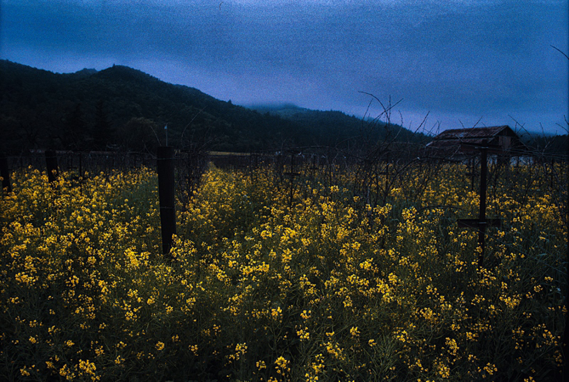 Mustard on a Cloudy Day by Sam Aslanian