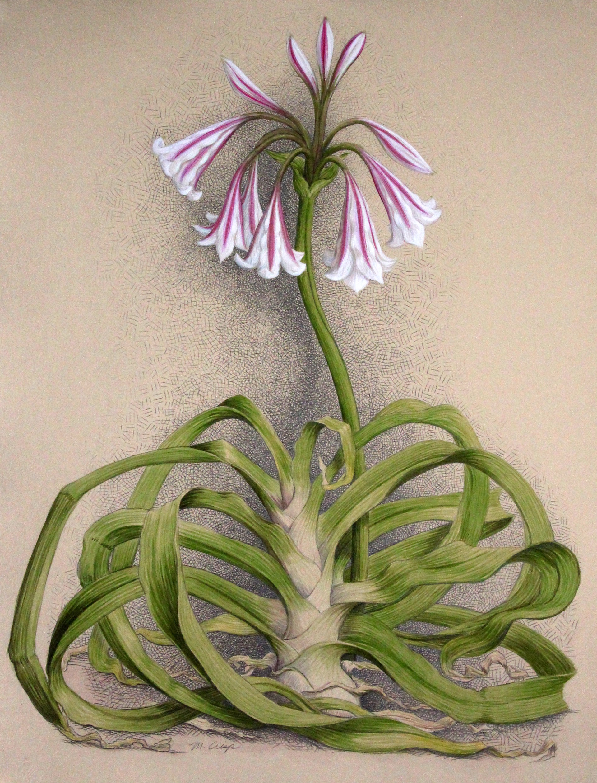 Milk & Wine Crinum by Margie Crisp