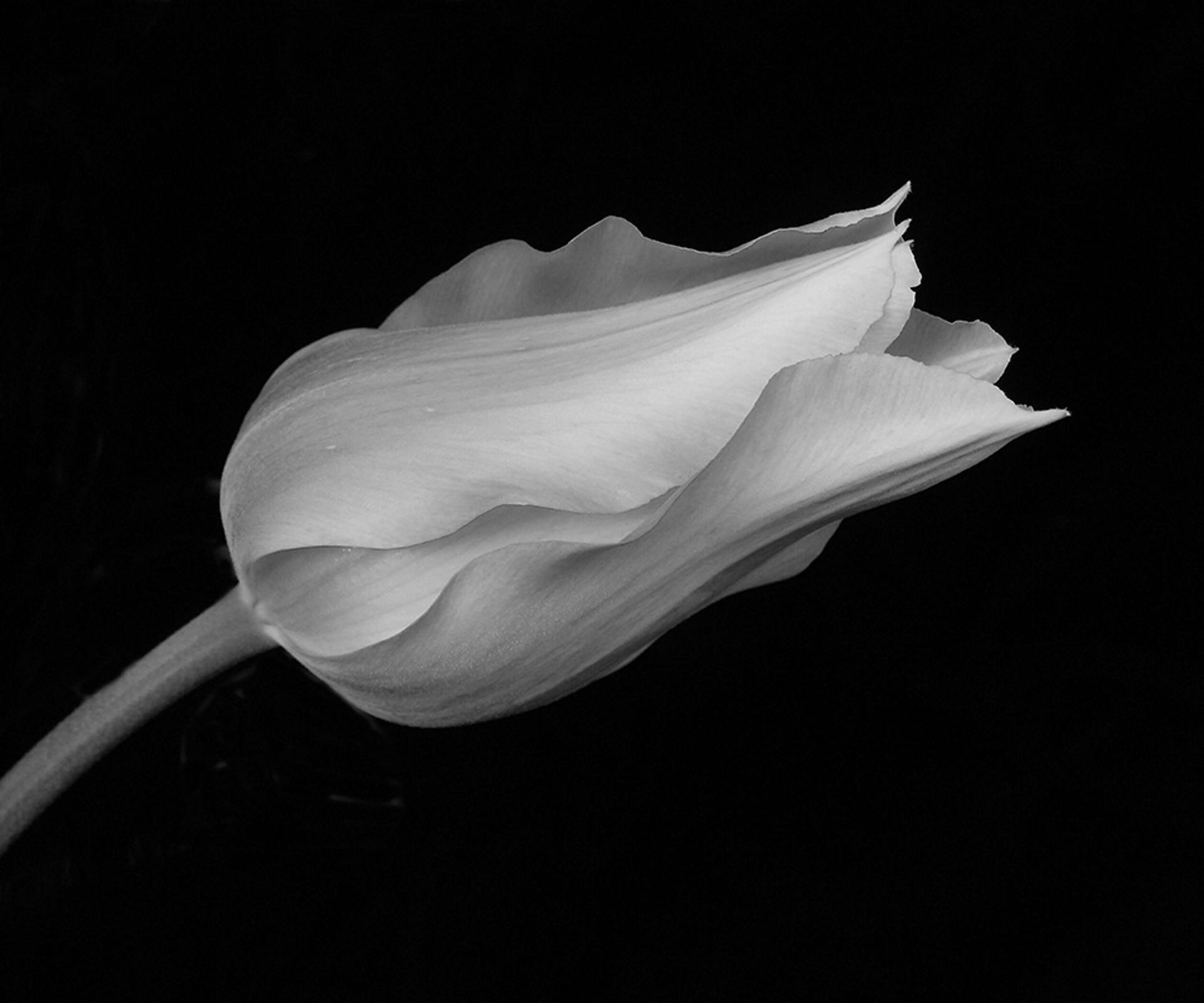 Tulip by Jan Christensen