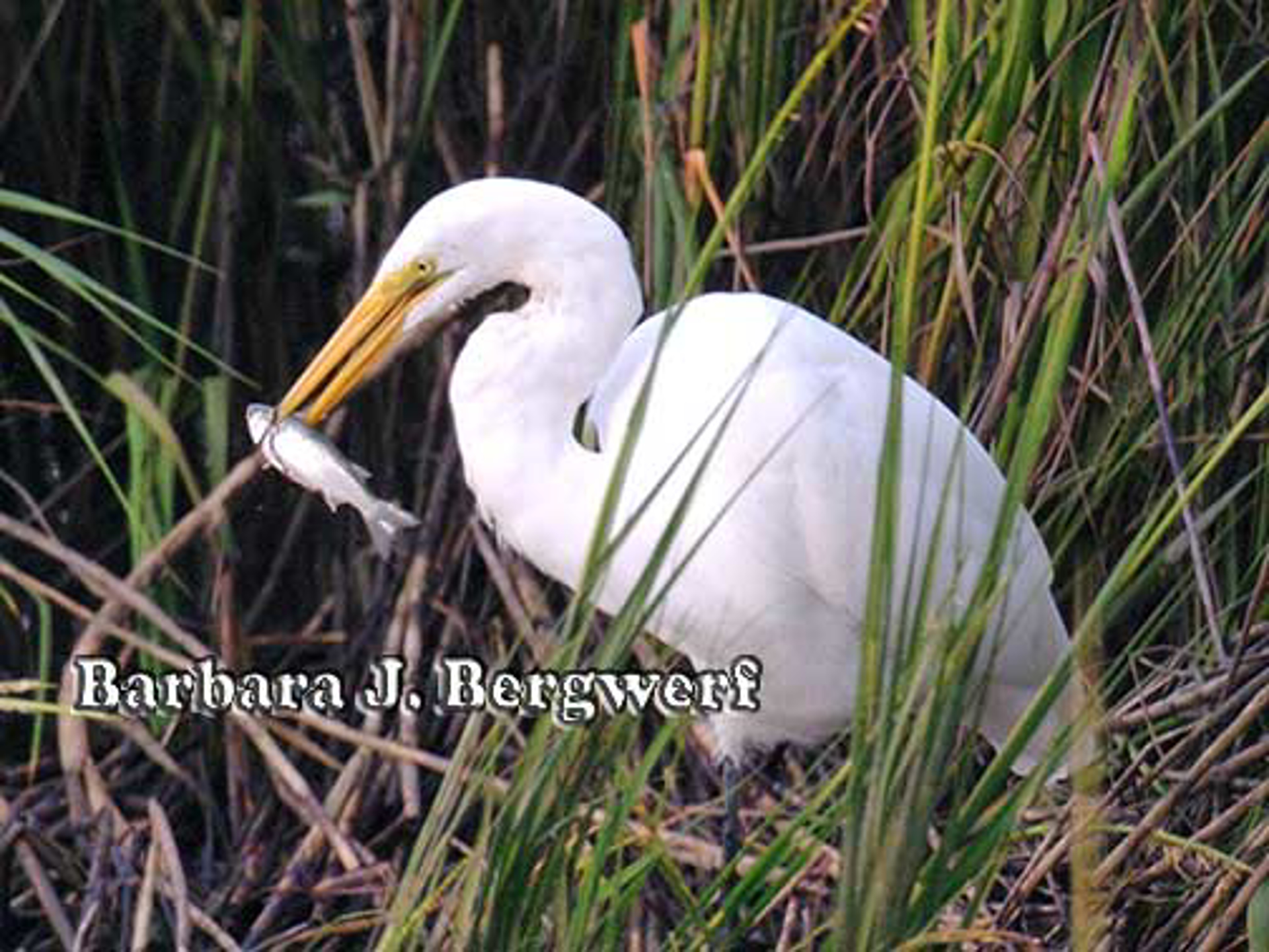 Egret with Fish by Barbara Bergwerf, Photography