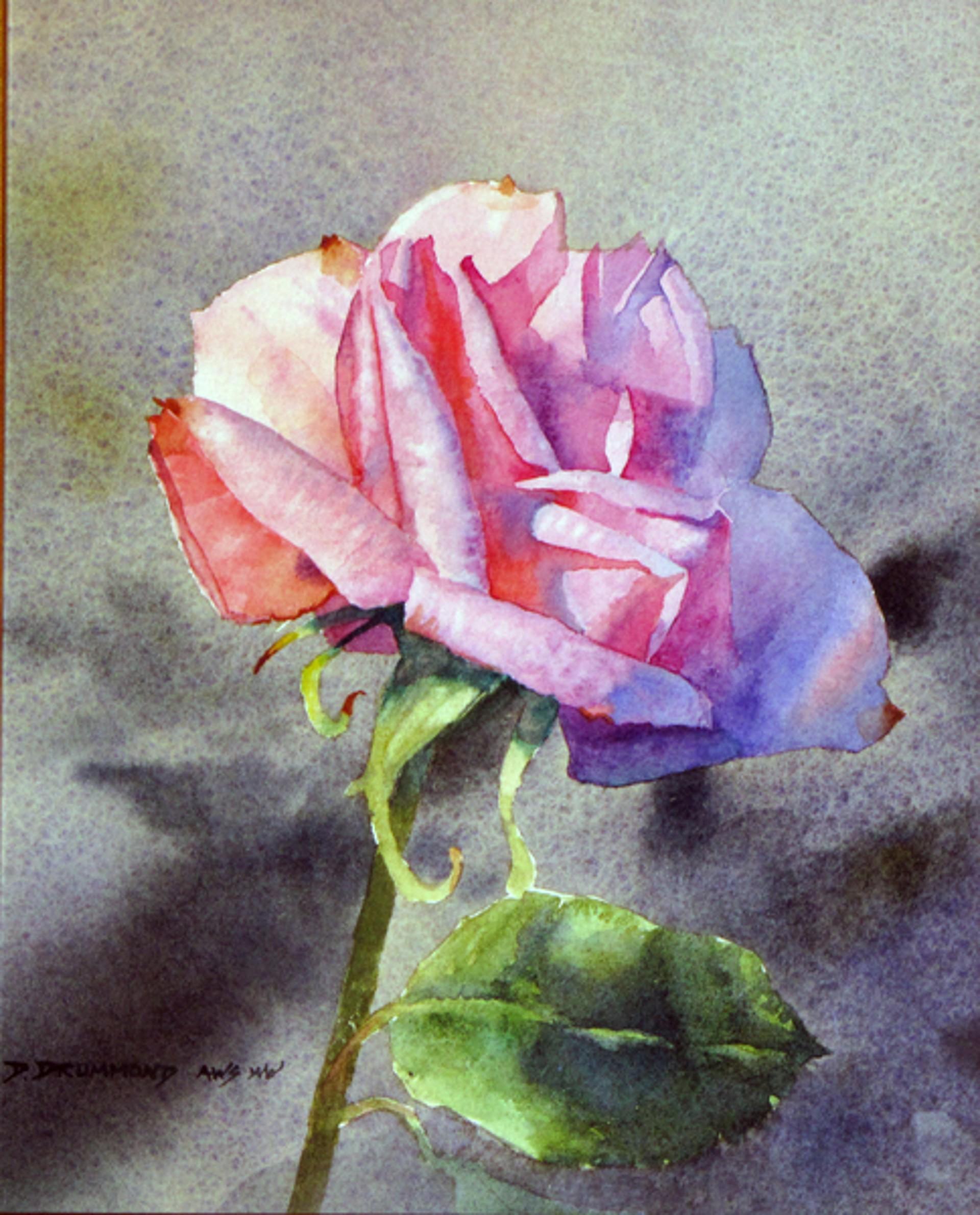 Pink Rose by David Drummond