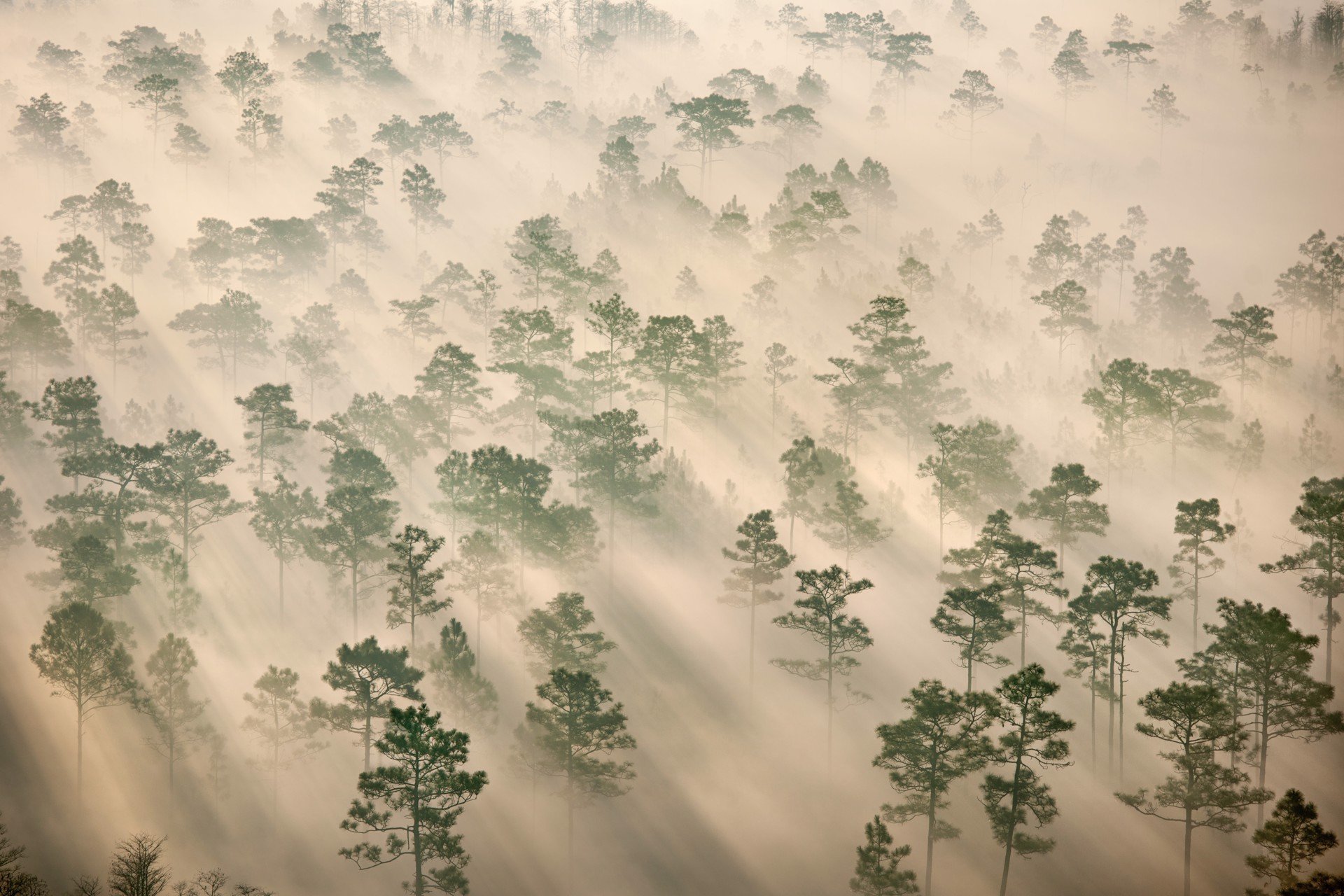 Pine Forest Fog by Carlton Ward Jr