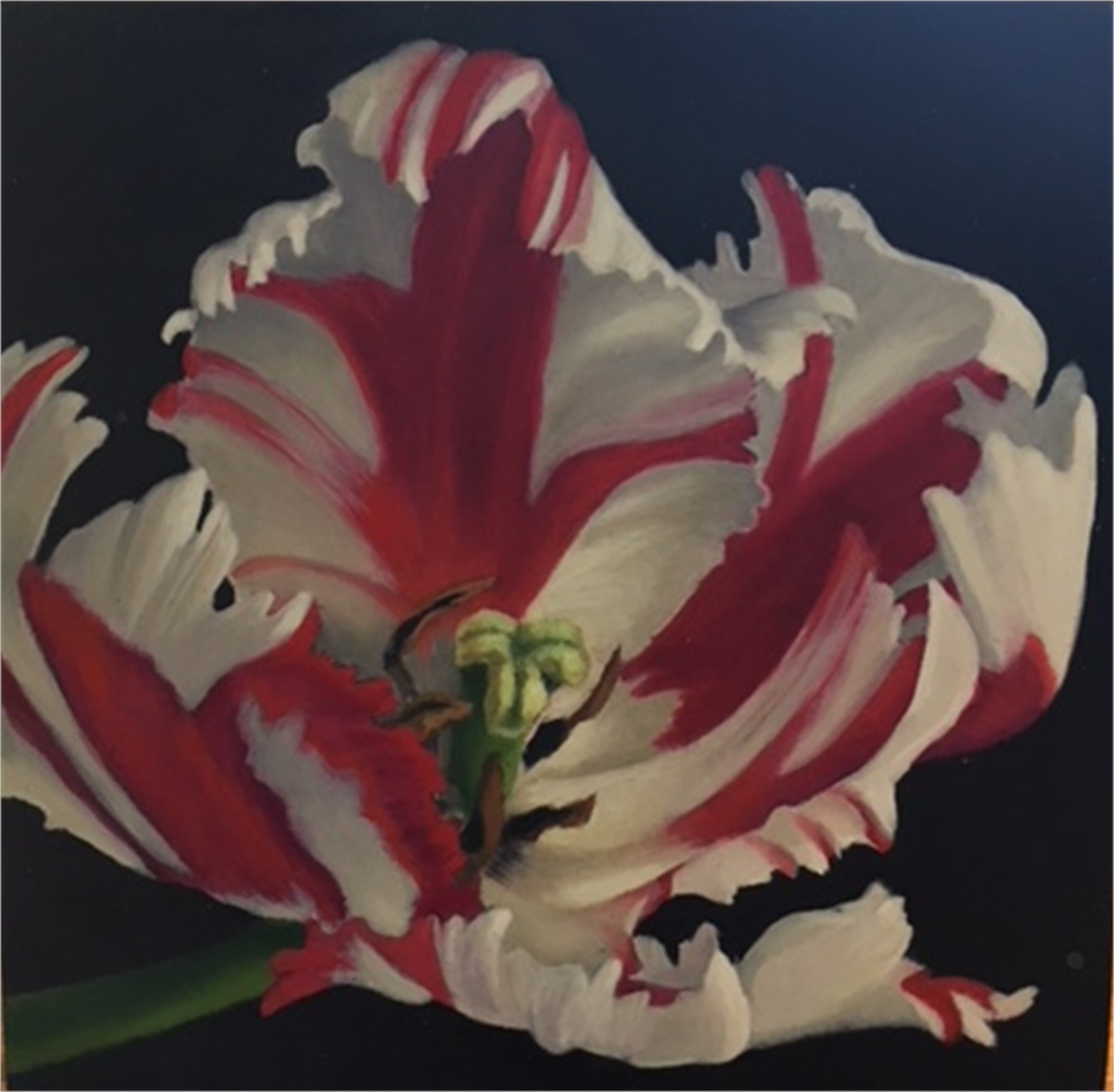 Candy Cane Tulip by Sarah van der Helm