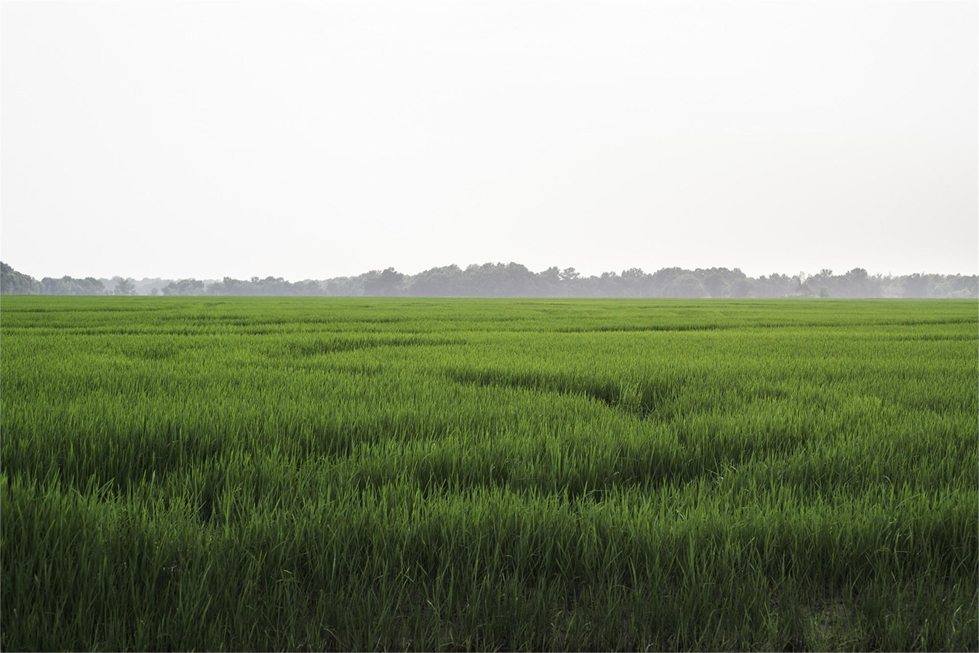 Arkansas Rice Field by Frank Sherwood White