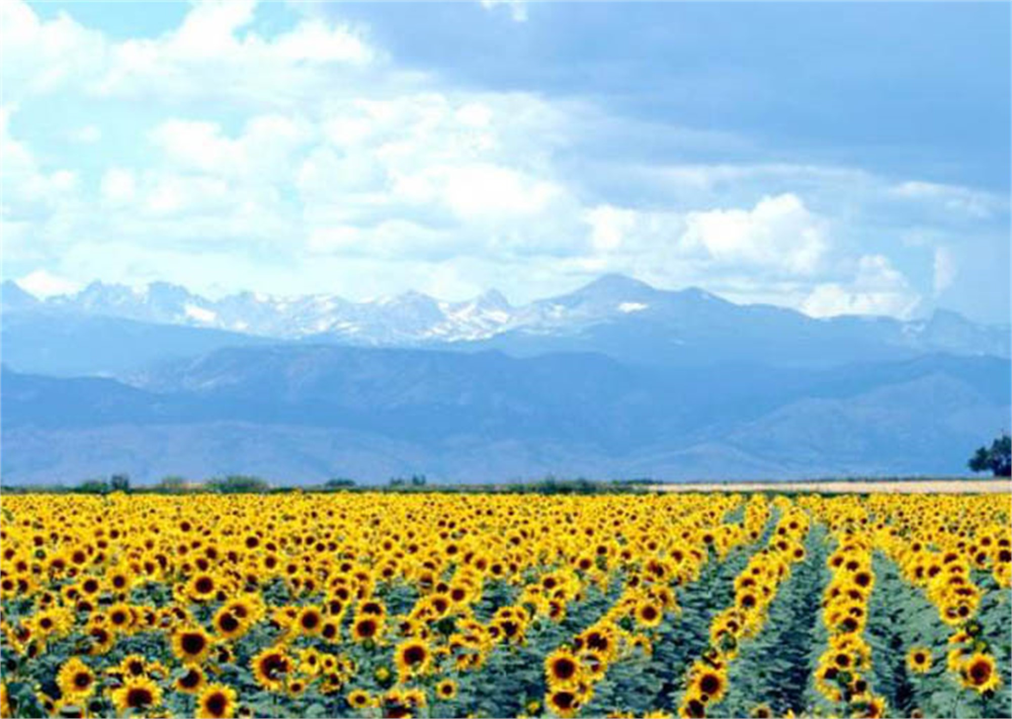 Sunflowers and Showers by Rob Pitzer