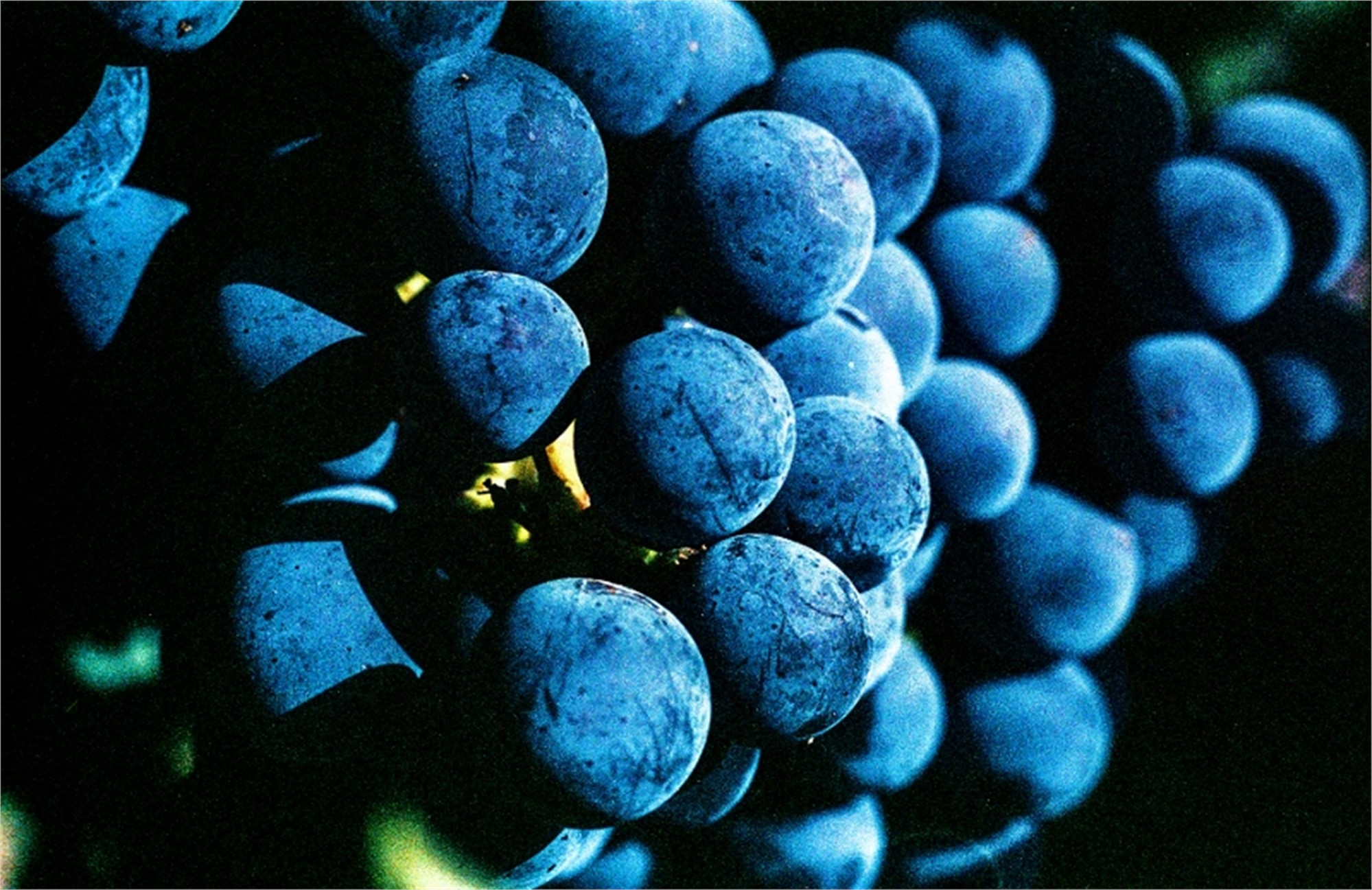 Cabernet Grapes by Sam Aslanian