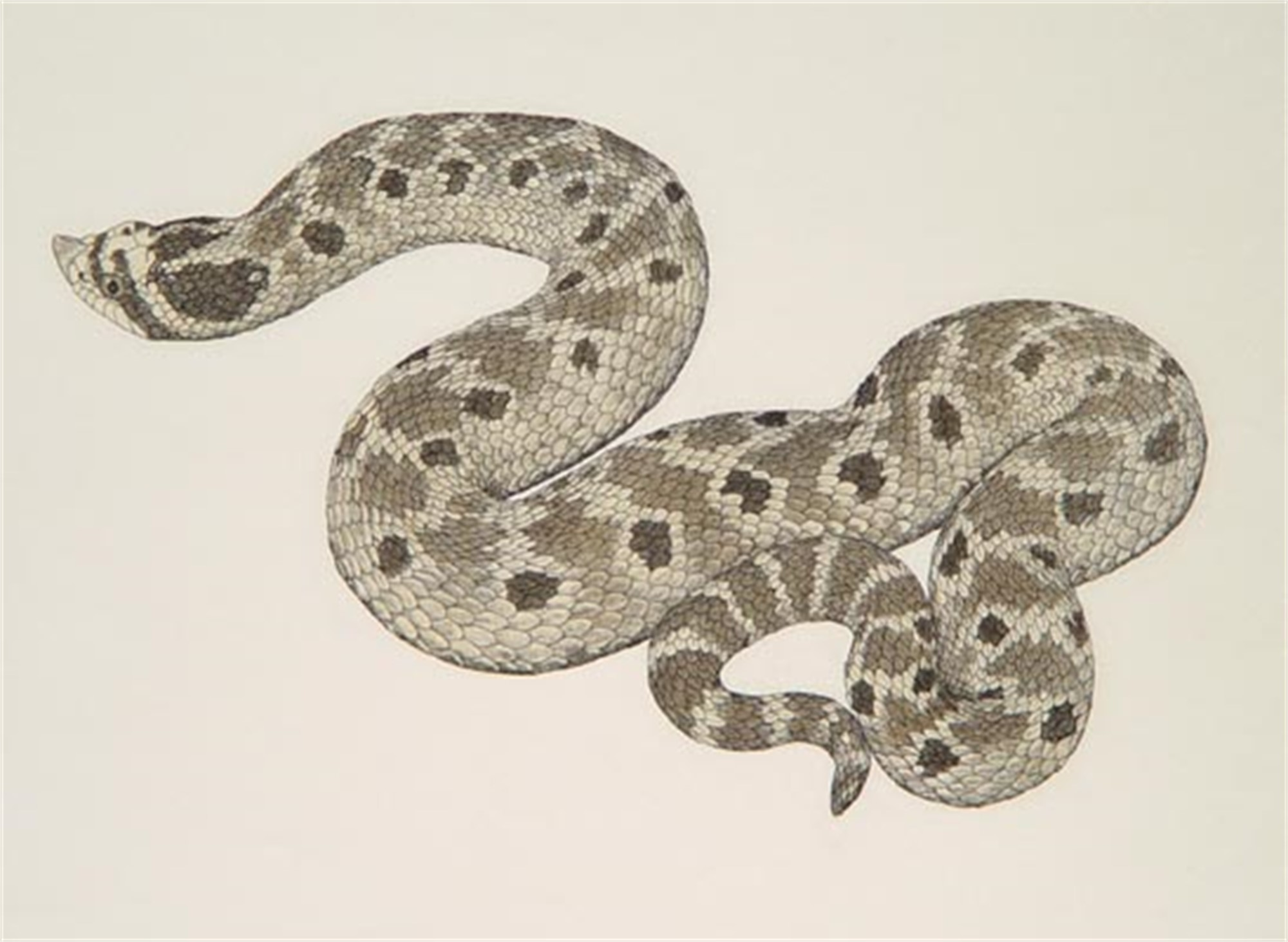 Mexican Hognose Snake by William Montgomery