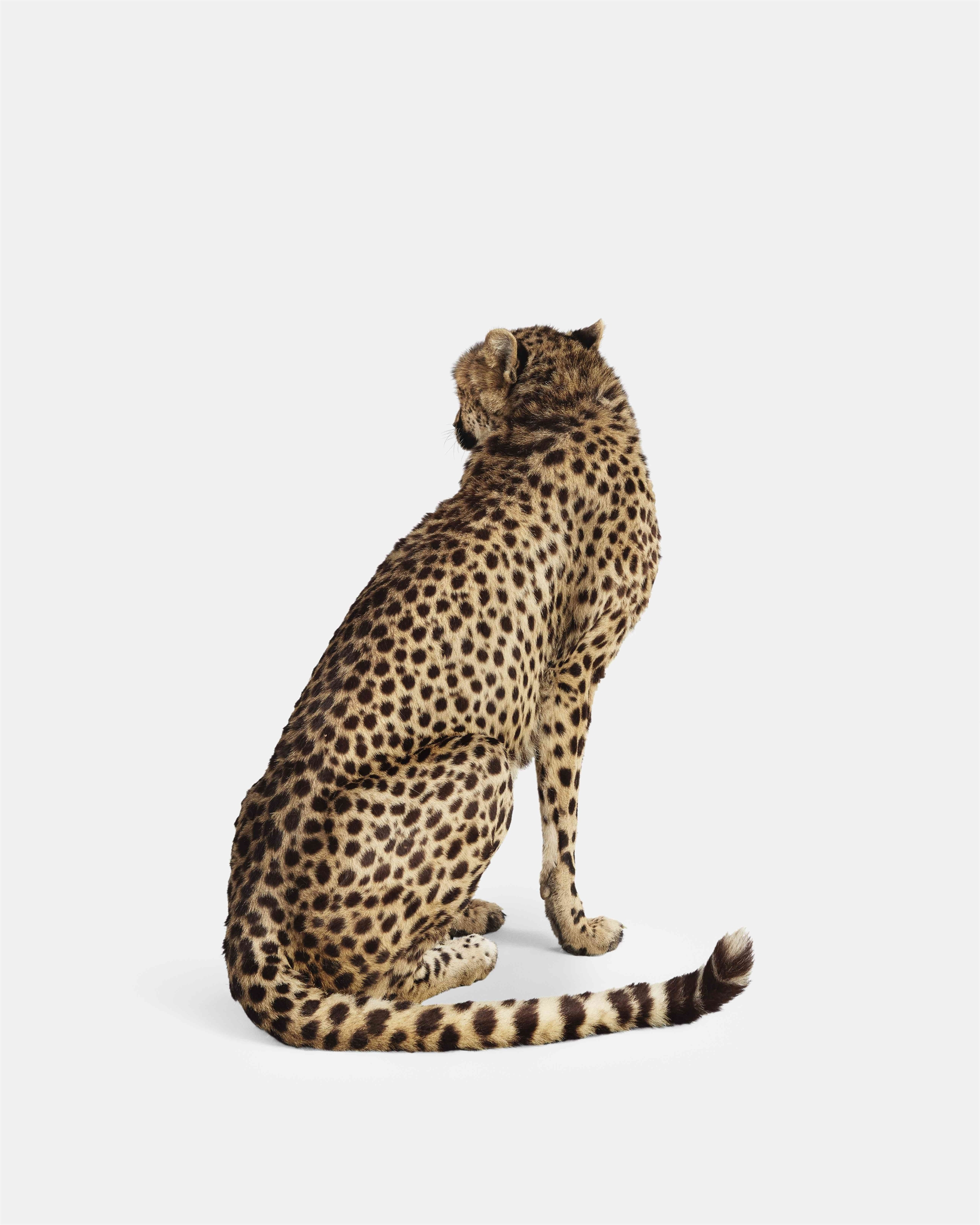 Cheetah No. II by Randal Ford