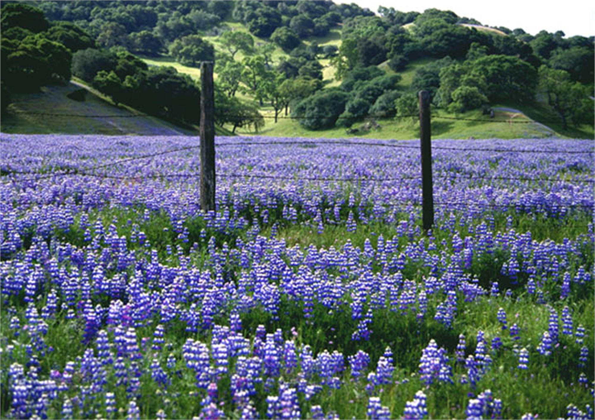 Country Bluebonnets by Rob Pitzer
