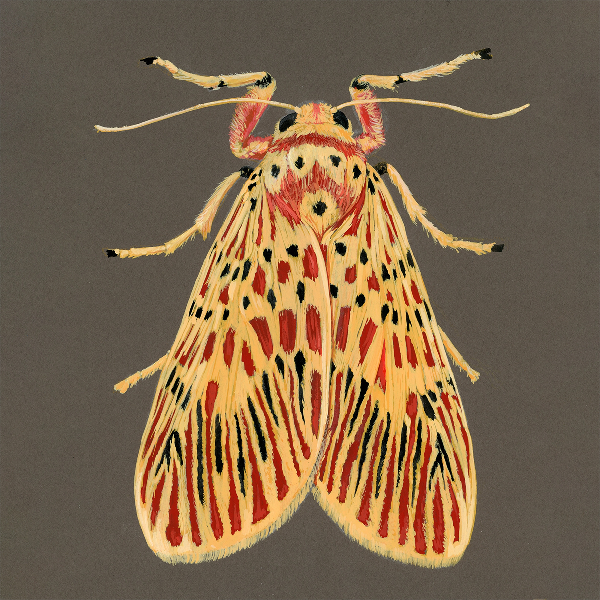 Footman Moth by Paul Atwell