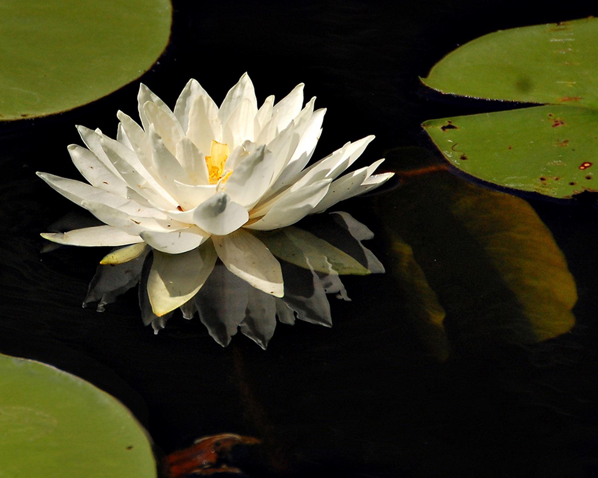 White Lotus-S by Mark Lange