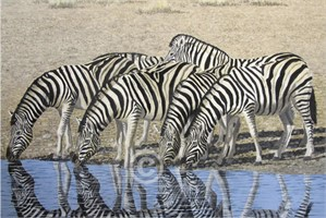 Zebra at the Watering Hole, 2018