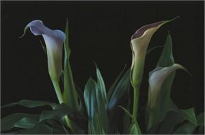 Calla Lily #2, 2006