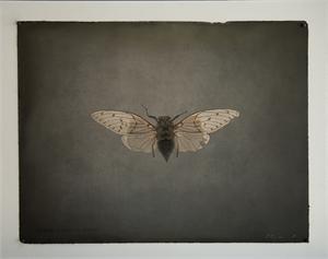 Cicada Unkown Species, 2019
