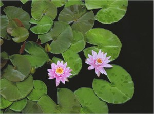 Water Lily #2, 2003