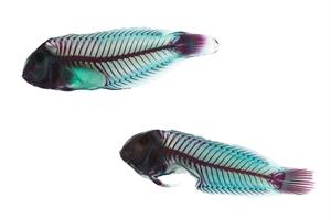 RIP Parrot Fish Framed, 2014