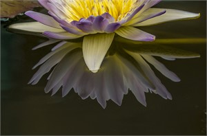 Waterlily Impression