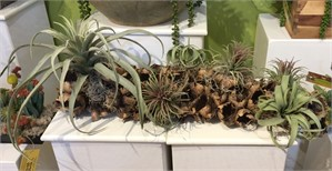 Breath Of Fresh Air - Natural seed pod planted with assorted Tillandsia and Spanish Moss, 2019
