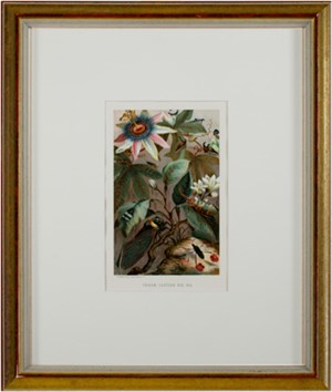 Cicadae, Lantern Fly, Etc., 1885