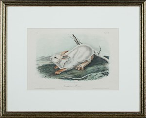 Northern Hare, c1846