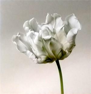 White Parrot Tulip I