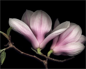 Pink Magnolia by Laurie Tennent