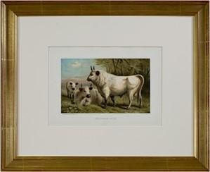 Chillingham Cattle, 1885
