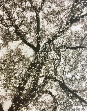(#0399) Dogwood Blossoms in Oaks, Sheldon Church Ruins, SC by Frank Hunter