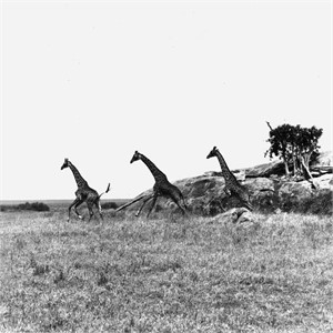 Giraffes Tanzania (1/20), 1993