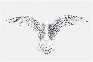 Snowy Owl Wings (1/15)