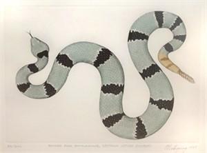 Banded Rock Rattlesnake (86/200), 1997