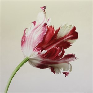 Red and White Parrot Tulip II