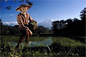 Japan: Rice Field in Oshino Village, near Mt. Fuji (Edition 13/100)