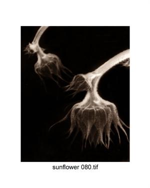 Sunflower #80 (5/21) by Frank Hunter