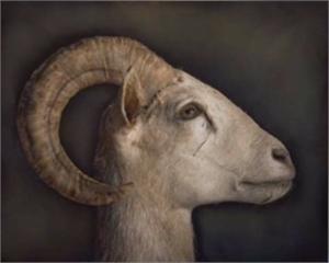 Desert Bighorn Sheep, 2019