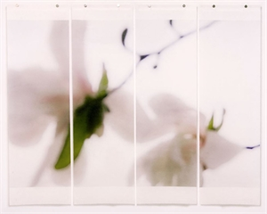 Star Magnolia, No. 4 Quad, 2012