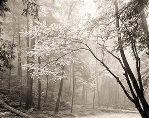 (#284) Beech Tree in Fog  by Frank Hunter
