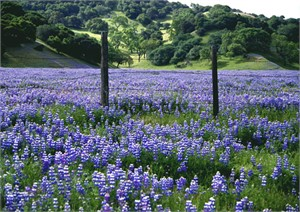 Country Bluebonnets